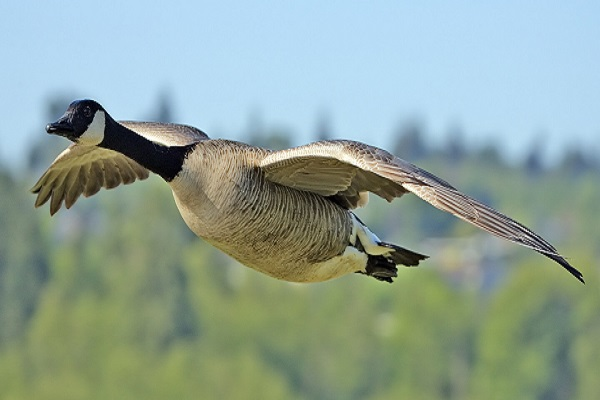 Goose Supply Now From Hungary For The Hungry