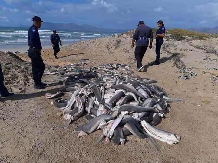 Chinese Trawlers Leaving Behind Headless and Finless Sharks Along Western Cape