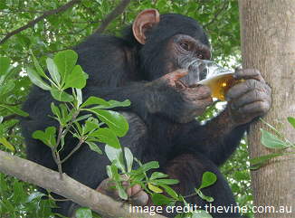 Was human evolution helped along by alcohol?
